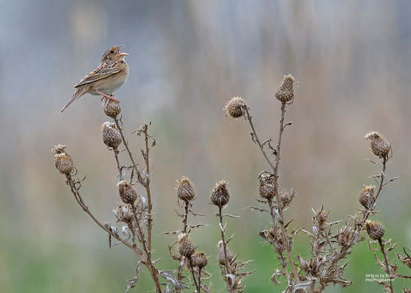 Grasshopper Sparrow, Burchard, NE, US, May 2018-1