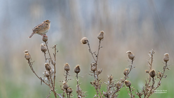 Grasshopper Sparrow, Burchard, NE, US, May 2018-2