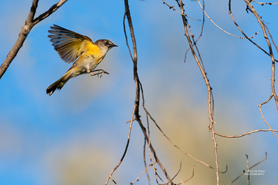 American Redstart, f, Standing Bear Lake, NE, USA, May 2018-1