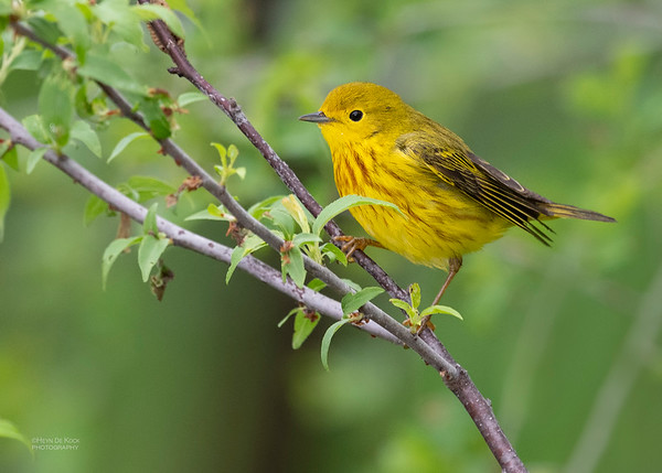 Yellow Warbler, Standing Bear Lake, NE, USA, May 2018-4