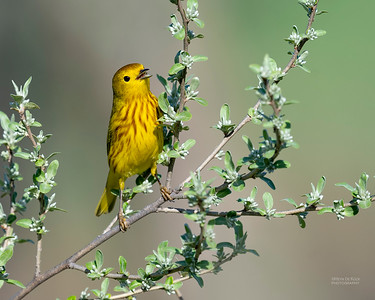 Yellow Warbler, Standing Bear Lake, NE, USA, May 2018-3