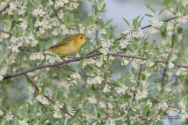 Yellow Warbler, f, Standing Bear Lake, NE, USA, May 2018-1