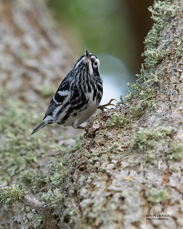 Black-and-white Warbler, Fort De Soto, St Petersburg, FL, USA, May 2018-3