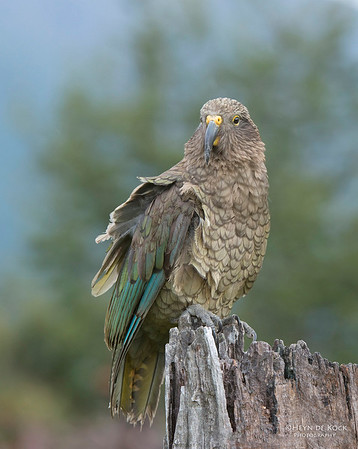 Kea, Bealey, SI, NZ, Jan 2013-1