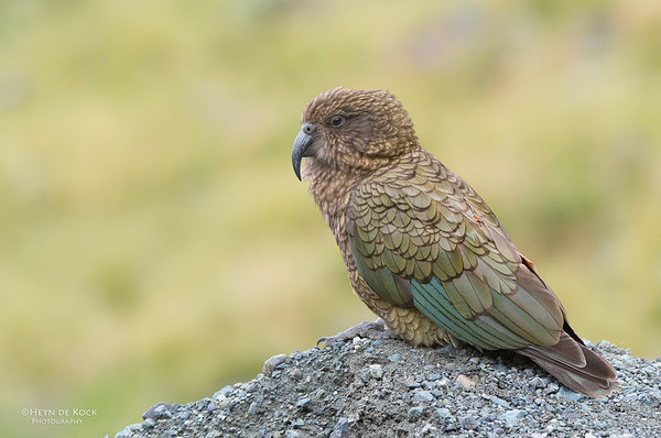 Kea, Homer Tunnel, Fiordland NP, SI, NZ, Jan 2013-1