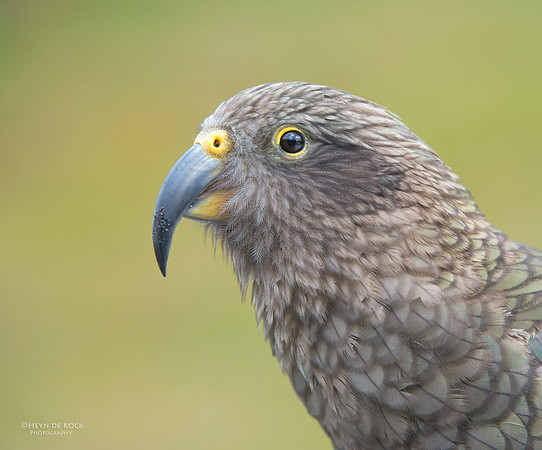 Kea, Bealey, SI, NZ, Jan 2013