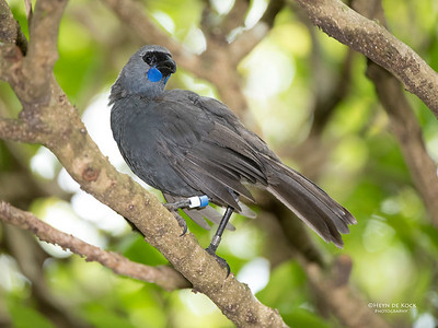 Kokako, Tiritiri Matangi, NZ, March 2015-3