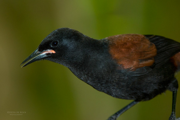 North Island Saddleback, Tiritiri Matangi, NZ, March 2015-2