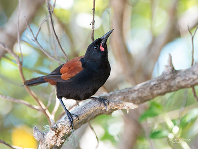 North Island Saddleback, Tiritiri Matangi, NZ, March 2015-3