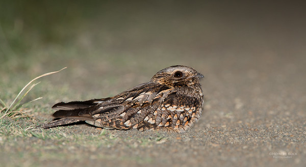 Fiery-necked Nightjar, Hobhouse, FS, SA, Dec 2013-2