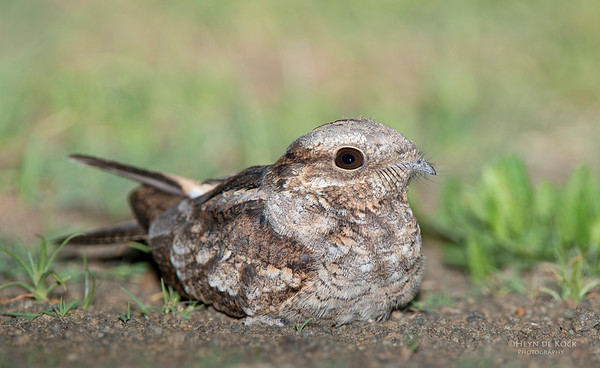 Fiery-necked Nightjar, Hobhouse, FS, SA, Dec 2013