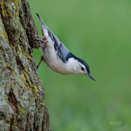 White-breasted Nuthatch, Standing Bear Lake, NE, USA, May 2018-2