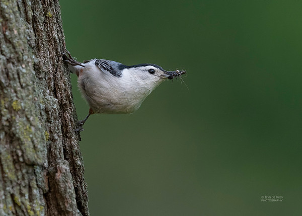 White-breasted Nuthatch, Standing Bear Lake, NE, USA, May 2018-3