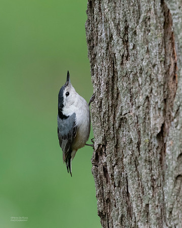 White-breasted Nuthatch, Standing Bear Lake, NE, USA, May 2018-5