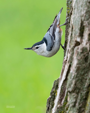 White-breasted Nuthatch, Standing Bear Lake, NE, USA, May 2018-1