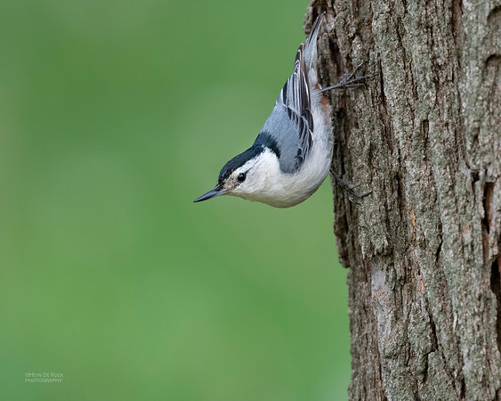 White-breasted Nuthatch, Standing Bear Lake, NE, USA, May 2018-4
