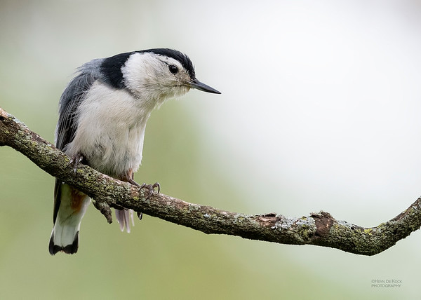 White-breasted Nuthatch, Standing Bear Lake, NE, USA, May 2018-6