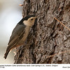 White-breasted Nuthatch A71190