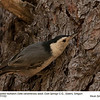 White-breasted Nuthatch A71153