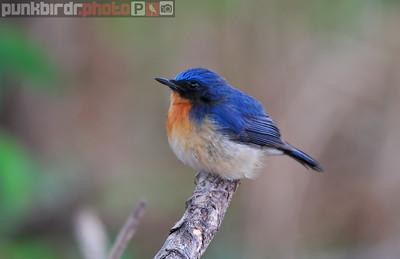hill blue flycatcher (cyornis banyumas)