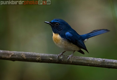 Hainan Blue Flycatcher (Cyornis hainanus)