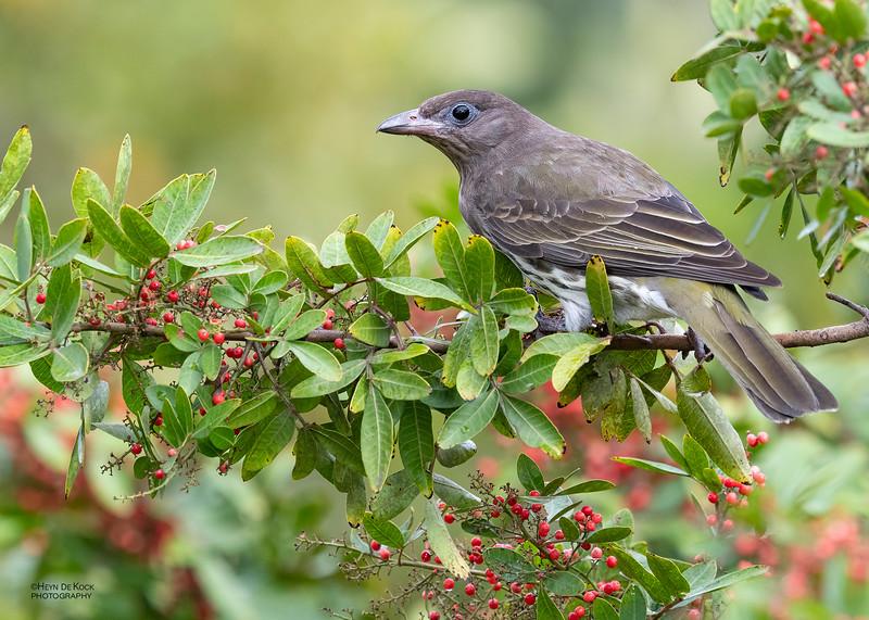 Australian Figbird, f, Oxley Creek Common, Brisbane, QLD, Jul 2018-1
