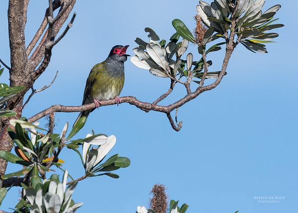 Australasian Figbird, Woolgoolga, NSW, Aus, Aug 2017-1