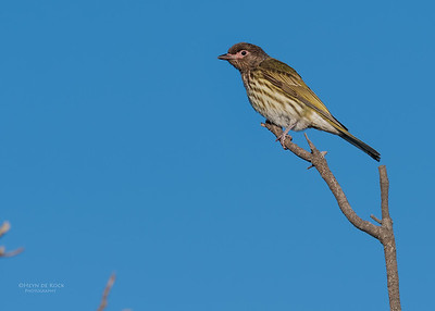 Australasian Figbird, Woolgoolga, NSW, Aus, Aug 2017-2