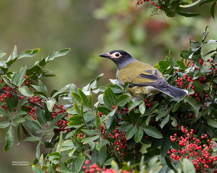 Australian Figbird, Oxley Creek Common, Brisbane, QLD, Jul 2018-1