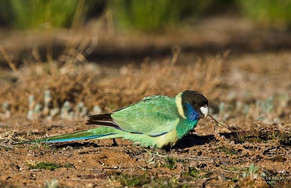 Australian Ringneck, Olive Pink Botanic Gardens, Alice Springs, NT, Aus, Jun 2012