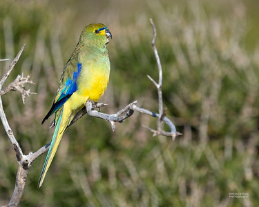 Blue-winged Parrot, Point Addis, VIC, Oct 2018-3
