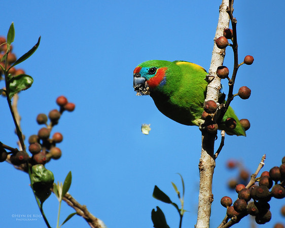 Double-eyed Fig-Parrot, Cairns, QLD, Aug 2008