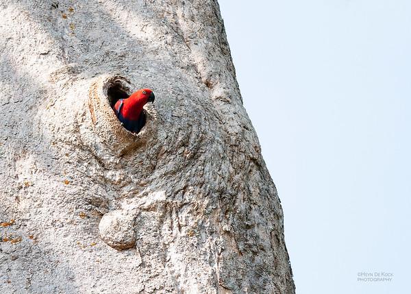 Eclectus Parrot, f, Iron Range NP, QLD, Dec 2009