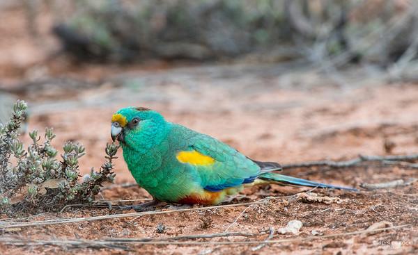 Mulga Parrot, Gluepot, SA, Aus, Aug 2012