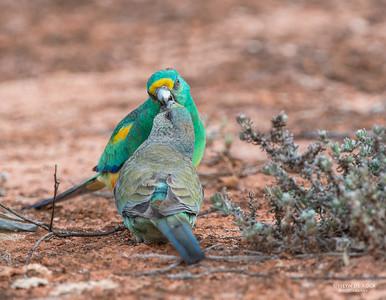Mulga Parrots, Gluepot, SA, Aus, Aug 2012