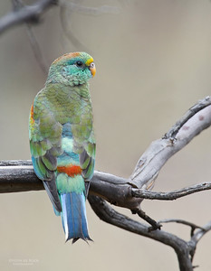 Mulga Parrot, imm, Hattah Kulkyne NP, VIC, Aus, Oct 2011