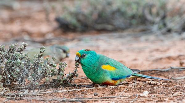 Mulga Parrots, Gluepot, SA, Aus, Aug 2012-1