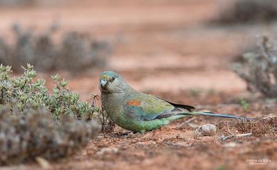 Mulga Parrots, f, Gluepot, SA, Aus, Aug 2012