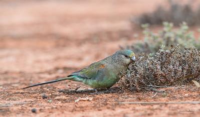 Mulga Parrots, f, Gluepot, SA, Aus, Aug 2012-1