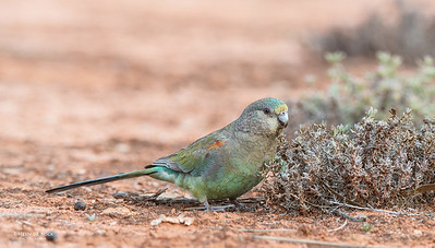 Mulga Parrots, f, Gluepot, SA, Aus, Aug 2012-2