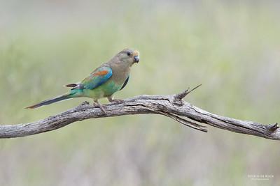 Mulga Parrot, f, Gluepot, SA, Aus, Nov 2014-1