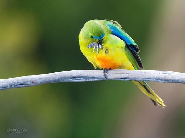Orange-bellied Parrot, Melaleuca, TAS, Feb 2011-3