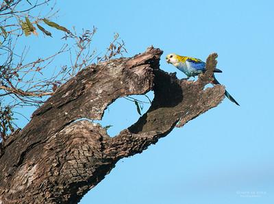 Pale-headed Rosella, Lake Claredon, QLD, Aus, April 2013