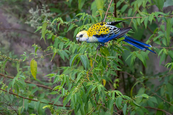 Pale-headed Rosella, Nerang, QLD, March 2021-3