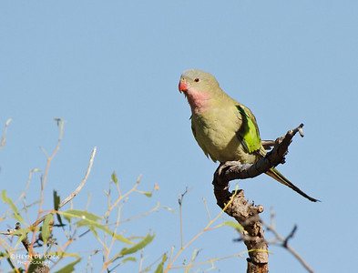 Princess Parrot, Newhaven Station, NT, Aus, Jun 2012-2