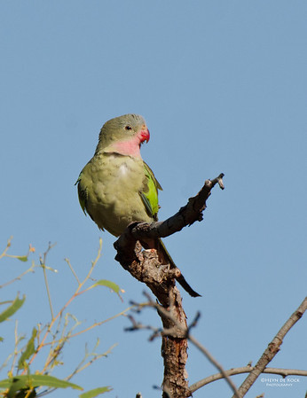 Princess Parrot, Newhaven Station, NT, Aus, Jun 2012