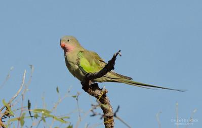 Princess Parrot, Newhaven Station, NT, Aus, Jun 2012-1