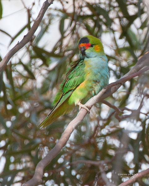 Purple-crowned Lorikeet, Brookfield CP, SA, May 2011