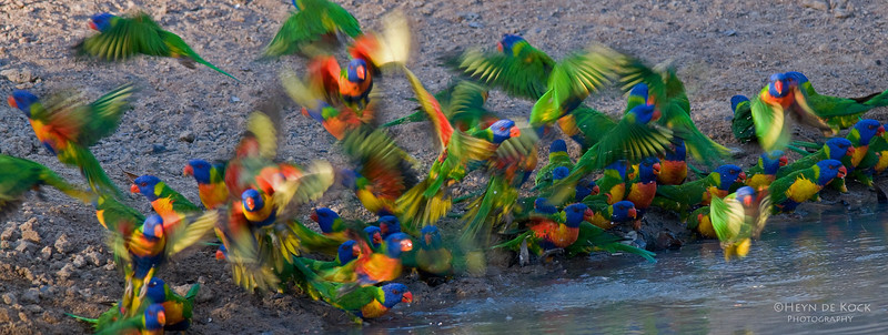 Rainbow Lorikeets, Musgrave, Qld, Aus, Dec 2009