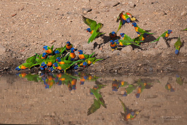 Rainbow Lorikeets, Musgrave, QLD, Dec 2009